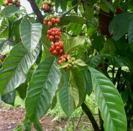 20120721042817-coffea-arabica-cafeto.jpg